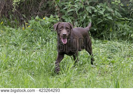 Cute Chocolate Labrador Retriever Puppy Is Standing On A Green Grass In The Summer Park And Looking