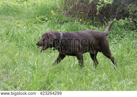 Cute Chocolate Labrador Retriever Puppy Is Walking On A Green Grass In The Summer Park. Pet Animals.