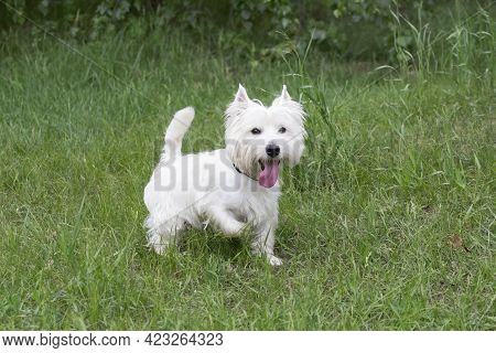 Cute White Scottish Terrier Puppy Is Walking On A Green Grass In The Summer Park. Pet Animals. Pureb
