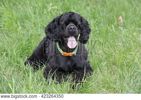 Black Cavalier King Charles Spaniel Puppy Is Lying On A Green Grass In The Summer Park. Pet Animals.