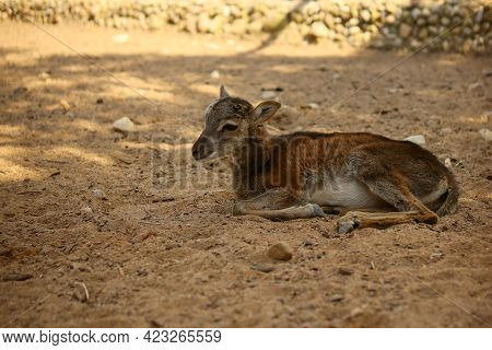 A Small Fawn Lies And Rests On The Ground Without Its Mother