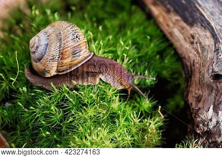 Large Domestic Snail, Unusual Pets . Keeping Snails At Home. Close-up.