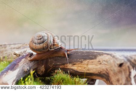Large Domestic Snail, Unusual Pets . Keeping Snails At Home. Close Up.