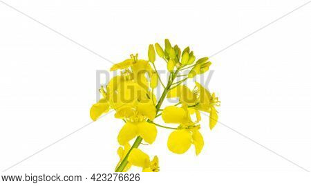 Colza White Background. Yellow Rape Flowers For Healthy Food Oil On Field. Rapeseed Plant, Colza Rap