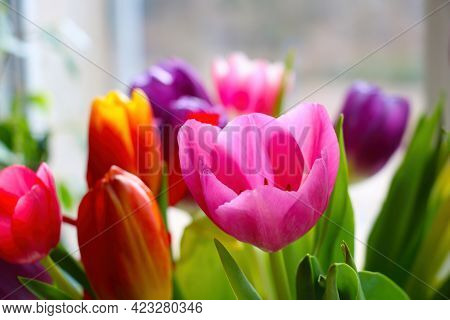 Bright Multicolored Blooming Tulips On A Sunny Spring Day. A Bouquet Of Fresh Flowers. Congratulatio