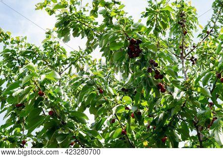 Unpicked Ripen Organic Cherries In The Tree