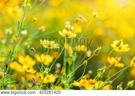 Beautiful Yellow Sulfur Cosmos Flowers In The Field