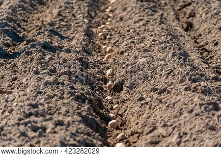 Process Of Planting A Potato Field In The Garden Close-up. Seed Potatoes. Process Of Planting Potato