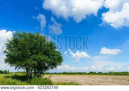 Tree Green Leaves On With A Meadow Burnt Rice Stubble In A Rice Field After Harvest With In Country