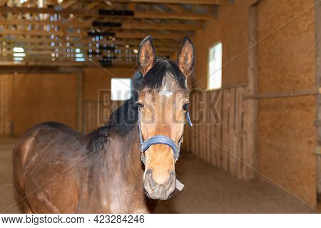 Beautiful Amazing Stunning Healthy Brown Chestnut Horse At Riding Place Indoors. Portrait Of A Pureb