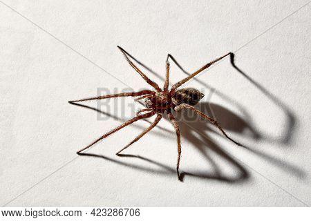 Predatory Spider Isolated On White Background. Tegenaria Agrestis. Large Representative Of The Domes