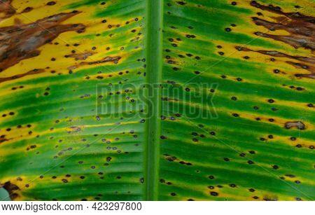 Banana Leaf -banana Leaf Background With Spots
