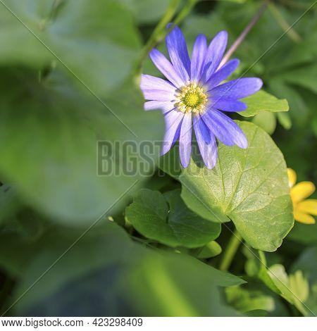 Anemonoides Blanda, Syn. Anemone Blanda, The Balkan Anemone, Grecian Windflower, Or Winter Windflowe