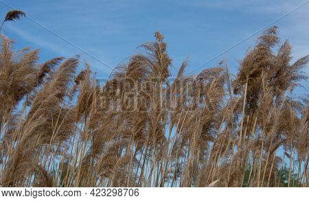 Grass In The Wind Under A Beautiful Blue Sky
