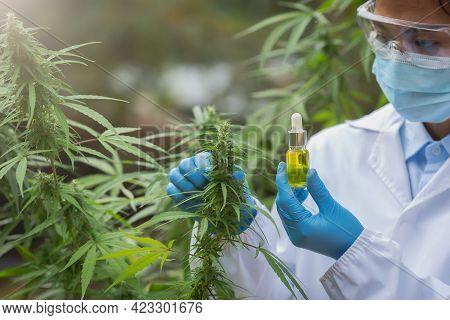 Female Scientists Researching Hemp Oil. Cannabis Oil Cbd. Concept Of Herbal Alternative Medicine, Ph