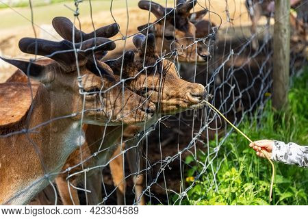 Sika Deer On A Reindeer Farm. The Child Feeds The Deer Grass Through The Cage. Deer In Captivity. De