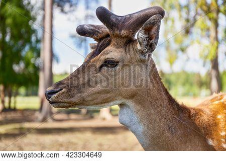 Sika Deer On A Reindeer Farm. Deer Graze In The Pasture. Reindeer Farm. Close Up.