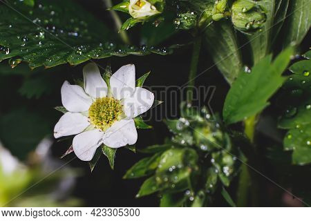 Blooming Strawberry Plant In Dew Drops After A Spring Night Rain.