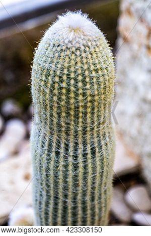 Cactus Plant Large Frame . Green Cactus. Needle