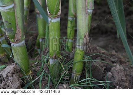 Sugarcane Farm On Field For Harvest