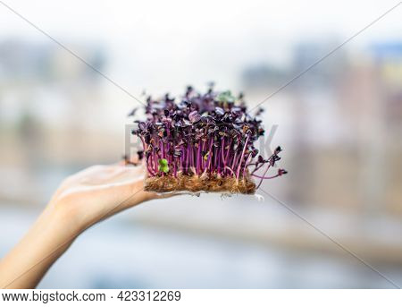 Purple Micro-green Radish Sprouts In Your Hand. Growing Radish Or Basil Sprouts In Close-up At Home.