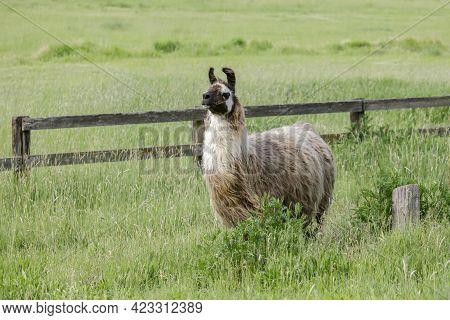 A Llama With A Full Coat Of Hair In A Grassy Field Near St. Maries, Idaho.
