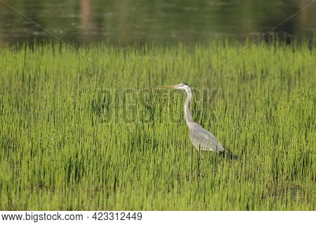 A Large Great Blue Heron Wades In Water Among The Tall Grass Near Harrison, Idaho.