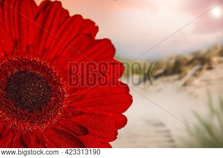 Close-up Of Half Of A Red Gerbera With Dew Drops On An Evening Background With Bokeh. Summer Backgro
