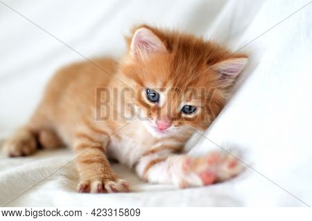 Beautiful Bright Red Kitten On A White Background Plays. Young Cute Little Red Kitty. Long Haired Gi