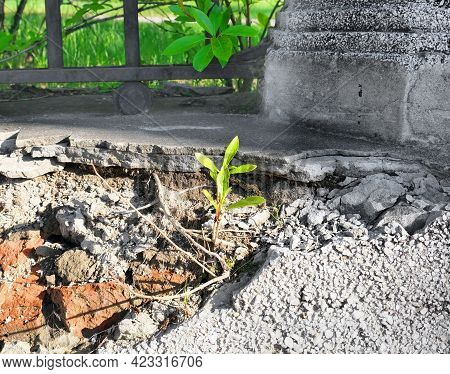 Young Tree Sprout Growing Through Old Cement Wall With Rough Deep Cracks On Stucco Surface. Contrast