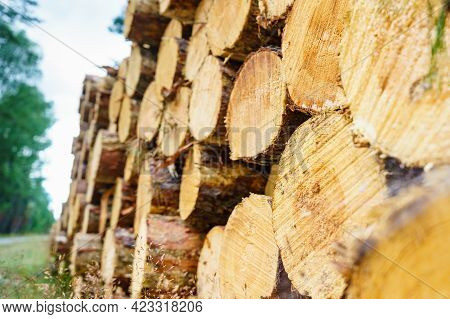 Timber Logging In Forest. Freshly Cut Tree Wooden Logs Piled Up. Wood Storage For Industry.