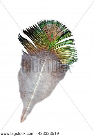 Peacock Feather Isolated On White Background. Green Pattern On The Plumage