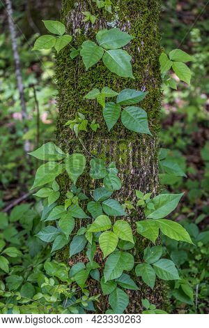 A Poison Ivy Vine Climbing Up The Tree Attaching To The Bark With New Growth Of Leaflets Shiny And F