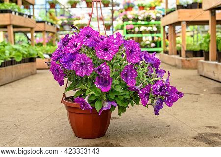 Close-up Of A Planter With Beautiful Cosmic Petunia Flowers Standing On The Floor In The Garden Cent