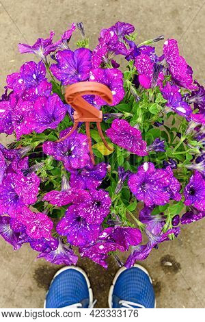 Close-up Of A Pot Of Purple Petunia Flowers, Standing On The Floor Next To The Feet In Sneakers