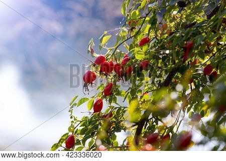 Rose Hip Bush With Red Berries By The River
