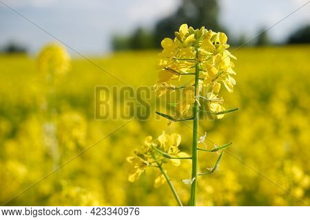 Yellow Bright Rapeseed Flower Close-up. Blooming Rapeseed Field. Canola Colza Yellow Flowers. Rapese