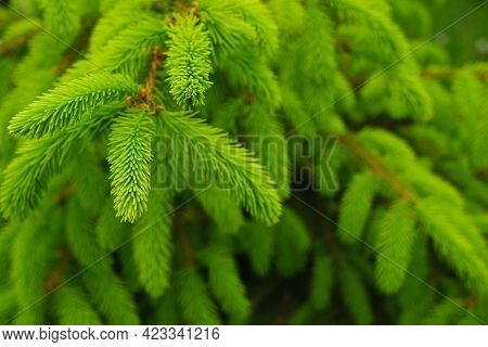 Spring Landscape In Shades Of Green. Young Branches Of A Coniferous Tree. Green Needles Of Spruce. F