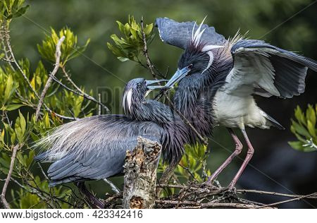 Pair Of Tricolored Herons Building Their Nest Together Dressed In Breeding Plumage.