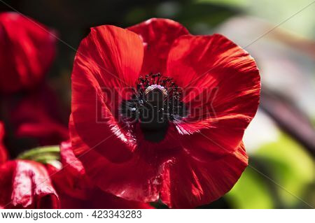 The Large Red Poppy Papaver Somniferum L Is A Beautiful Medicinal Plant. Lovely Big Poppy. Summer Ba