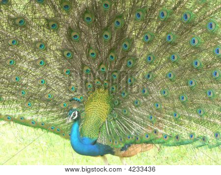 Indian Pea Fowl