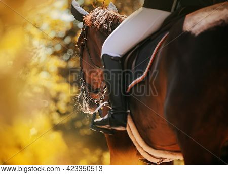Rear View Of A Bay Horse With A Rider In The Saddle, Which Walks Through The Park Among The Autumn Y