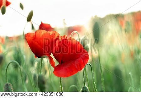 Poppy Field At Sunset With Beautiful Red Flowers Backlit By Setting Sun. Nature Background. Beautifu