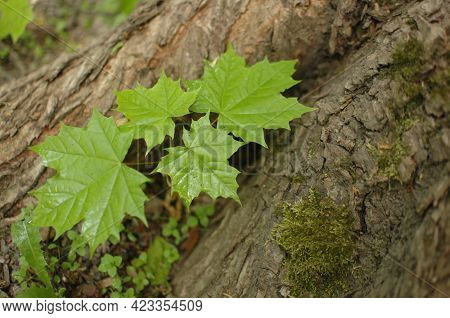 Young Green Maple Leaves Grow At The Foot Of The Tree. Spring Young Leaves. Green Maple Leaves On A