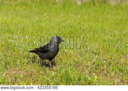 Bird On The Grass, Green Grass And Black Bird, Bird's Eye And Beak, Rook