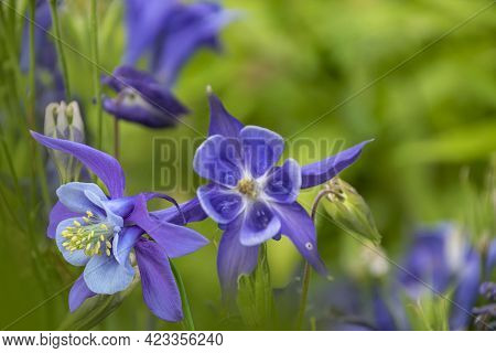 Purple Columbine Flowers Against Blurred Garden Background. Copy Space To The Right