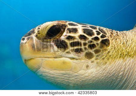 Loggerhead Turtle Closeup