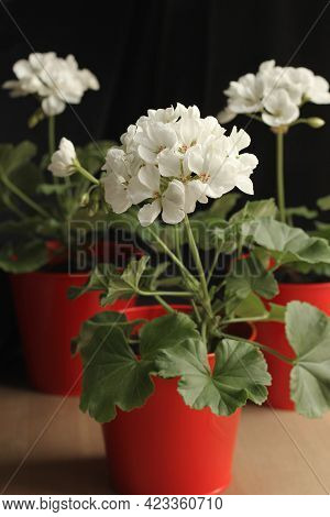 White Pelargonium In A Red Pot On A Dark Background. Home Flowers. Blurred Background