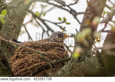 Thrush Fieldfare, Turdus Pilaris, Sits In A Nest. The Fieldfare With In The Wild Nature.