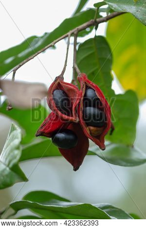 Sterculia Monosperma, Thai Chestnut, Red Chestnut On Tree.